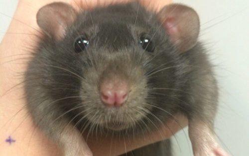 крыса лечение