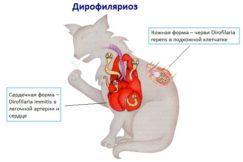 Заражаются ли кошки сердечными червями?