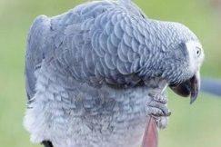 попугай чешеться