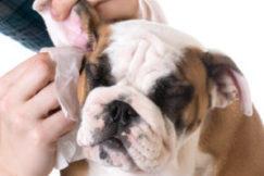 чистим уши собаке