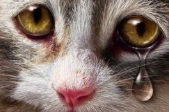 слезоточивость у кота