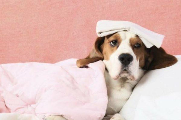Сердечные патологии собак и кошек