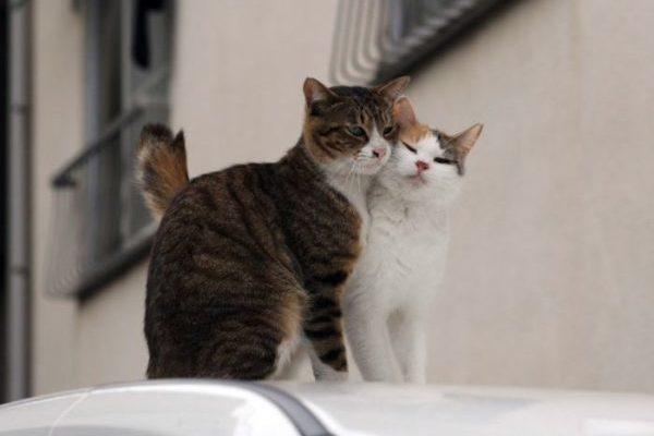 Контрацептивы для кошек и их влияние