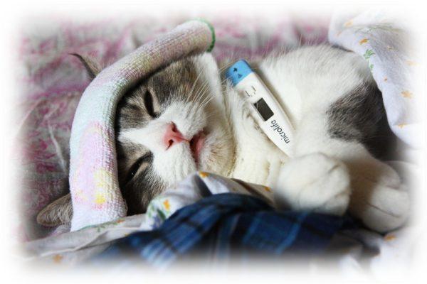 Вакцинация от токсоплазмоза кошек в ростове