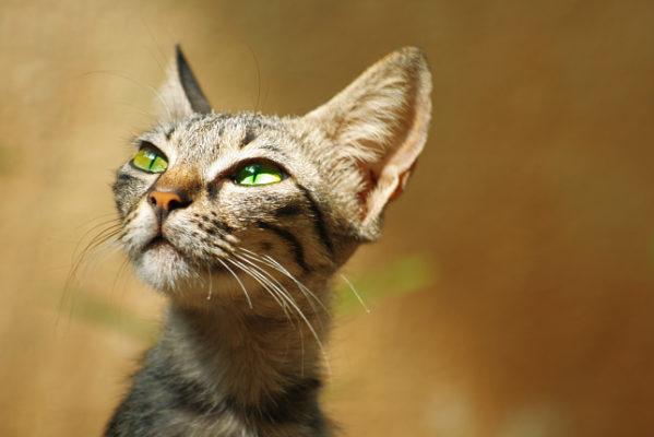 анарексия у кошек