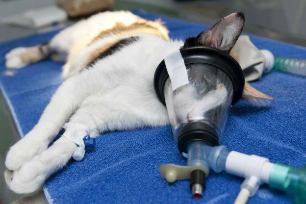 Наркоз – хорошо это или плохо? Опасен ли вообще наркоз для животных?