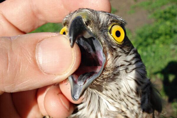 Опасны ли заболевания птицы для человека